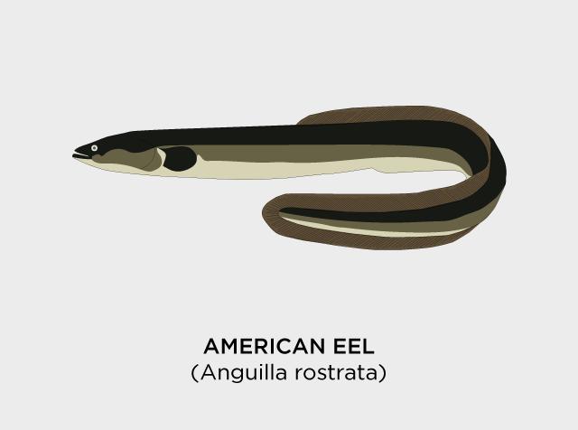 American-Eel-Diaz.png