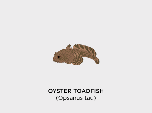 Oyster-Toadfish-Diaz.png