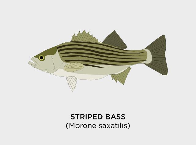 Striped-Bass-Diaz.png