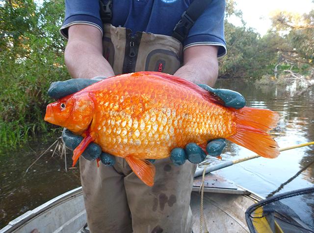 goldfish-640.jpg
