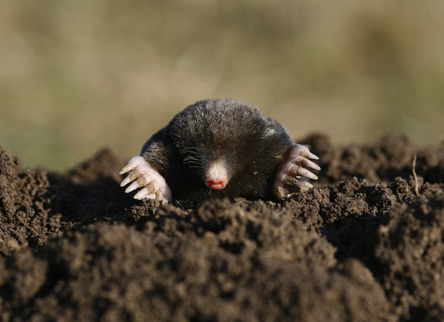 http://gothamist.com/attachments/nyc_chrisrobbins/41112mole.jpg