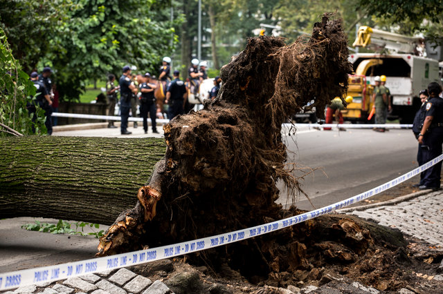 Four Hurt After Tree Falls on Them in New York's Central Park