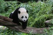 These Pandas Should Move To NYC Right Now NYC Real Estate News image via Tigho