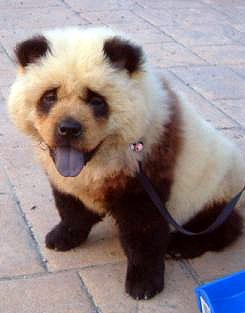 dog in china that looks like a panda bear